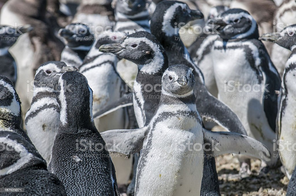 magellanic penguins royalty-free stock photo
