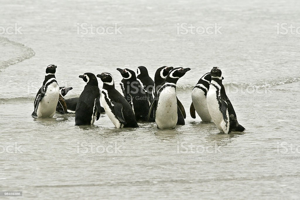 Magellanic penguins (Spheniscus magellanicus foto stock royalty-free