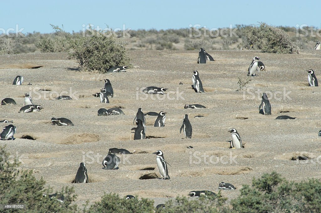 Magellanic penguins Punta Tombo, Argentina stock photo