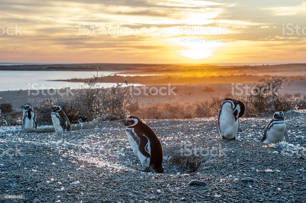 Magellanic Penguins, very early Patagonian golden morning stock photo