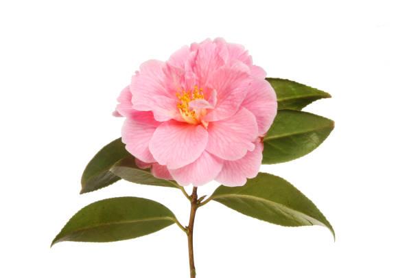 Magenta camellia picture id951507778?b=1&k=6&m=951507778&s=612x612&w=0&h=aqmyknfyldxtkvuwdvtmc4wju2c0htrc1vwrokuob y=