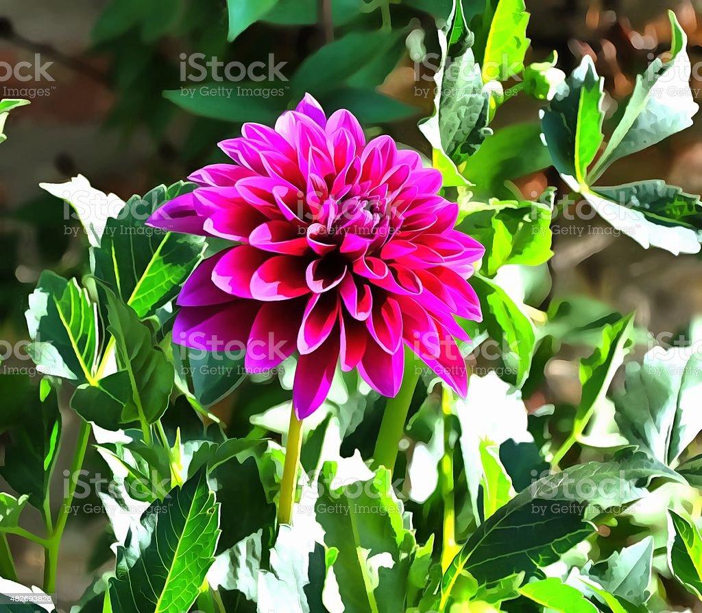 Magenta chrysanthimum #1 stock photo