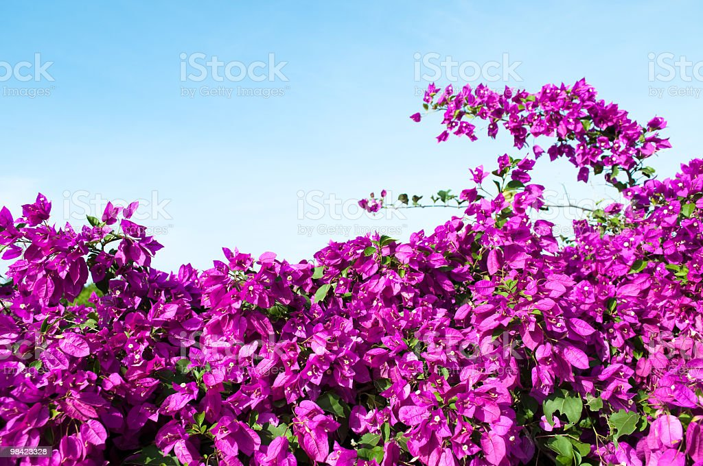 Magenta colored Bougainvillea hedge with light blue sky stock photo