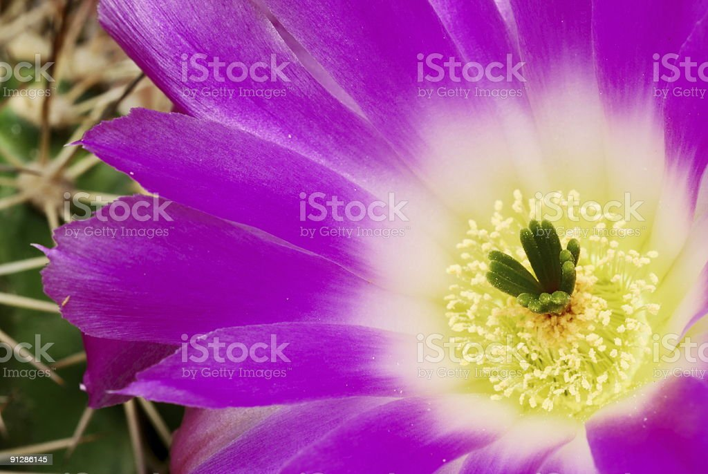 Magenta echinocereus cacti flower royalty-free stock photo
