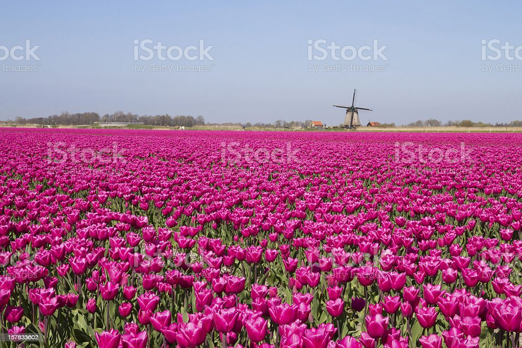 Magenta flower field with windmill royalty-free stock photo