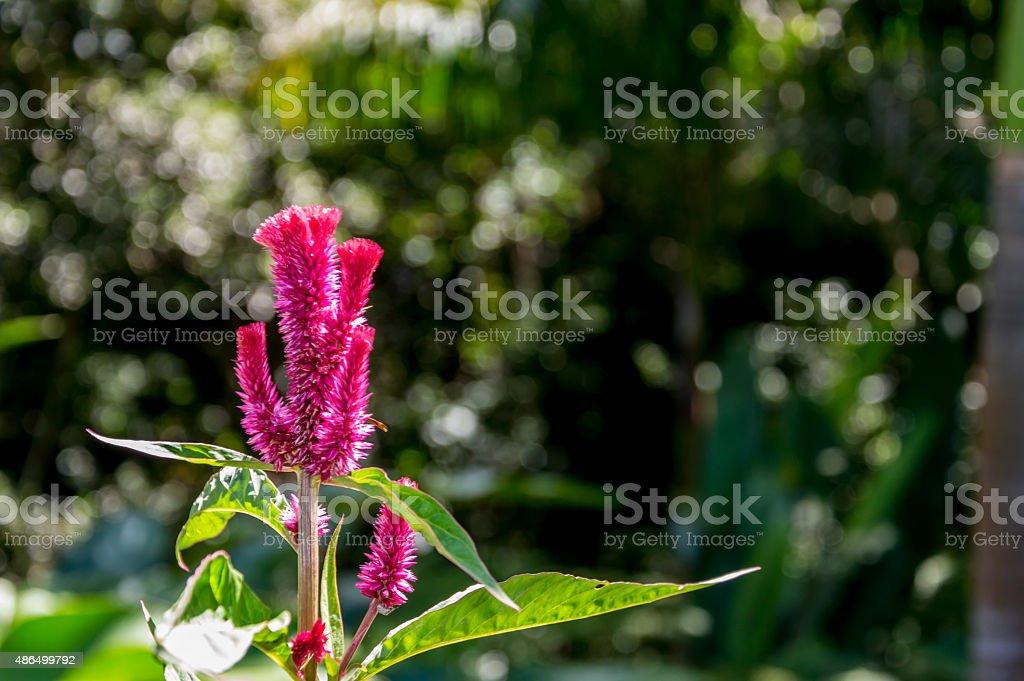 Magenta Blume – Foto