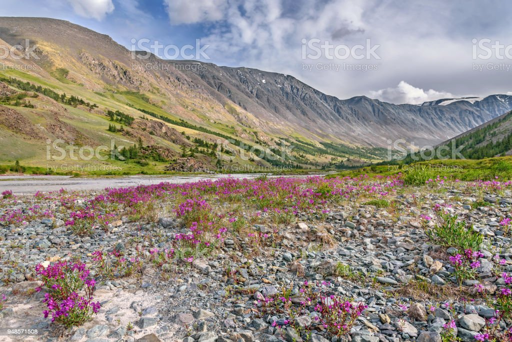 magenta flowers river stones mountains summer stock photo