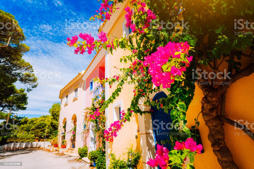 Magenta fuchsia flowers on the walkway in small mediterranean Assos village. Traditional greek house on street with a big bougainvillea flowers stock photo