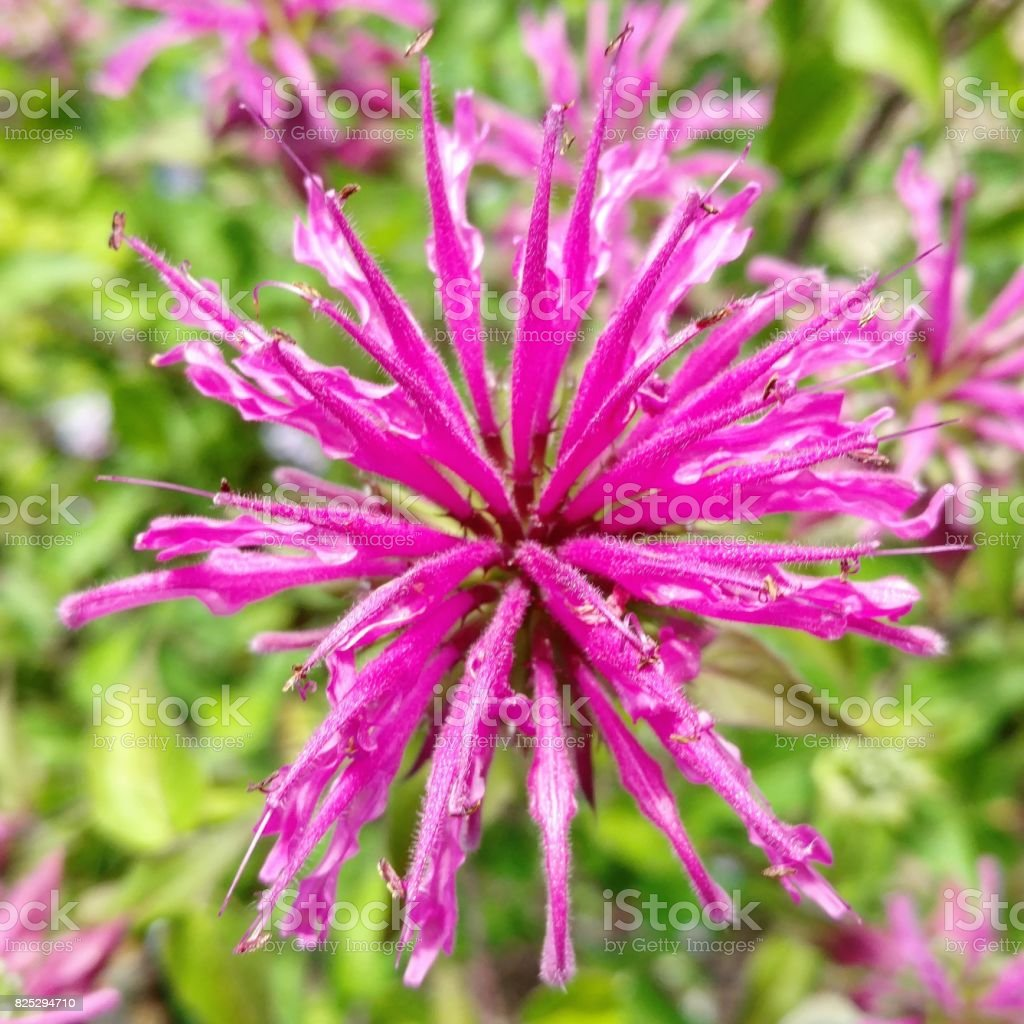 Magenta Giant Ironweed Flower, Clear Lake City, Texas stock photo