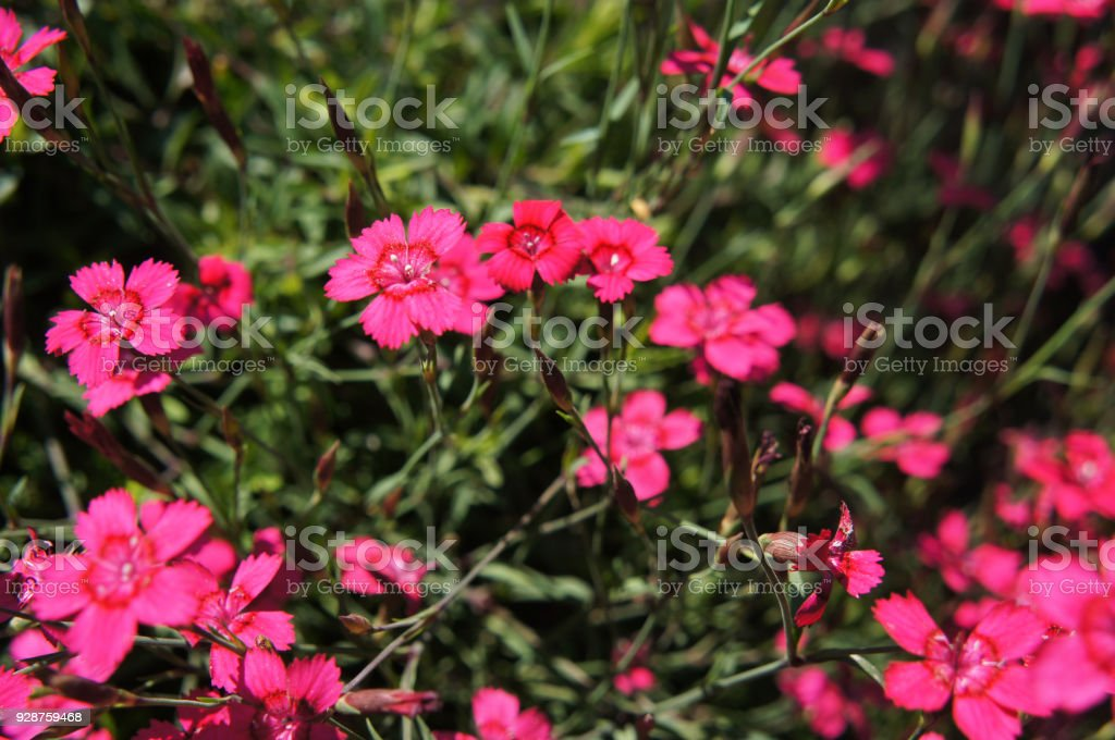 Magenta little carnation dianthus repens flowers with green stock photo