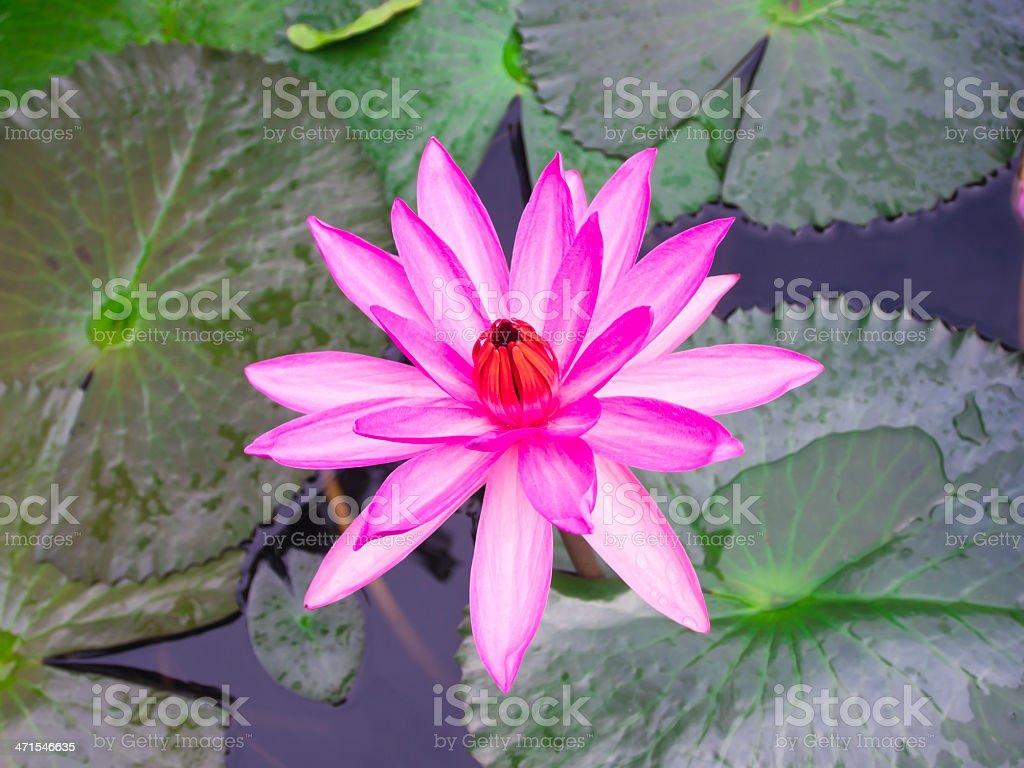Magenta Lotus Flower In Blooming Status Stock Photo More Pictures