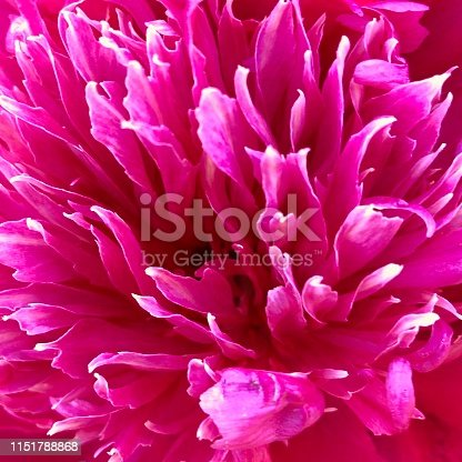 Beautiful peony pink bloom with white tips, full frame
