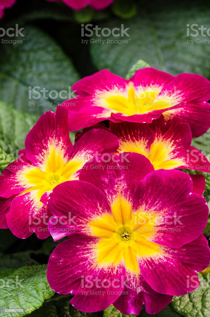 Magenta primrose flowers with leaves stock photo