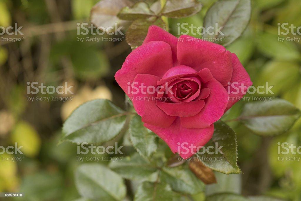 Magenta Rose stock photo
