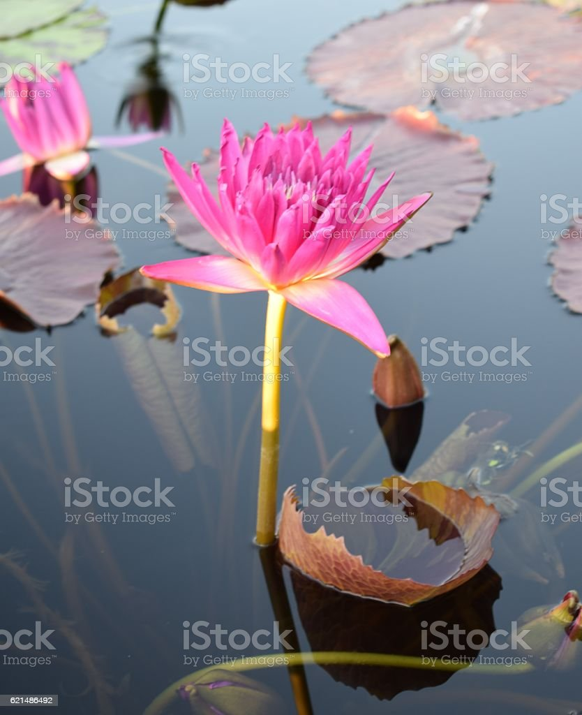 Magenta waterlily amongst lily pads Lizenzfreies stock-foto