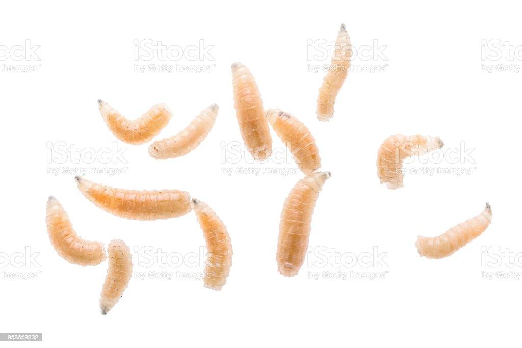 Larve de mouche mouche bouchent isolé sur fond blanc. Appât de pêche. - Photo