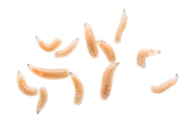 Maggot fly larva close up isolated on white background. Fishing bait. stock photo