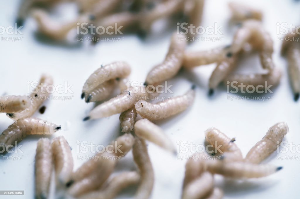Maggot or larva of fly stock photo