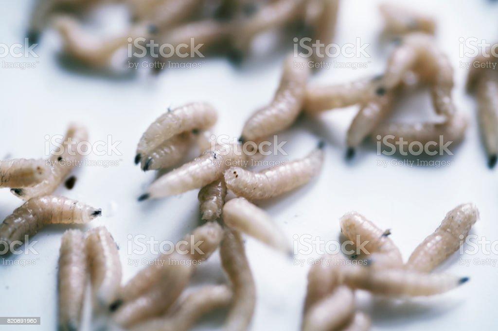 Mouche ou larve de la mouche - Photo
