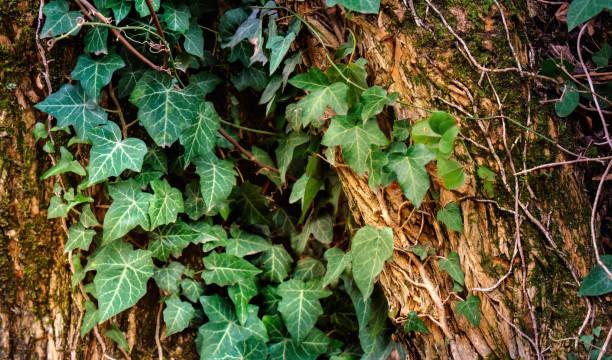 magiska bakgrund med murgröna - murgröna bildbanksfoton och bilder