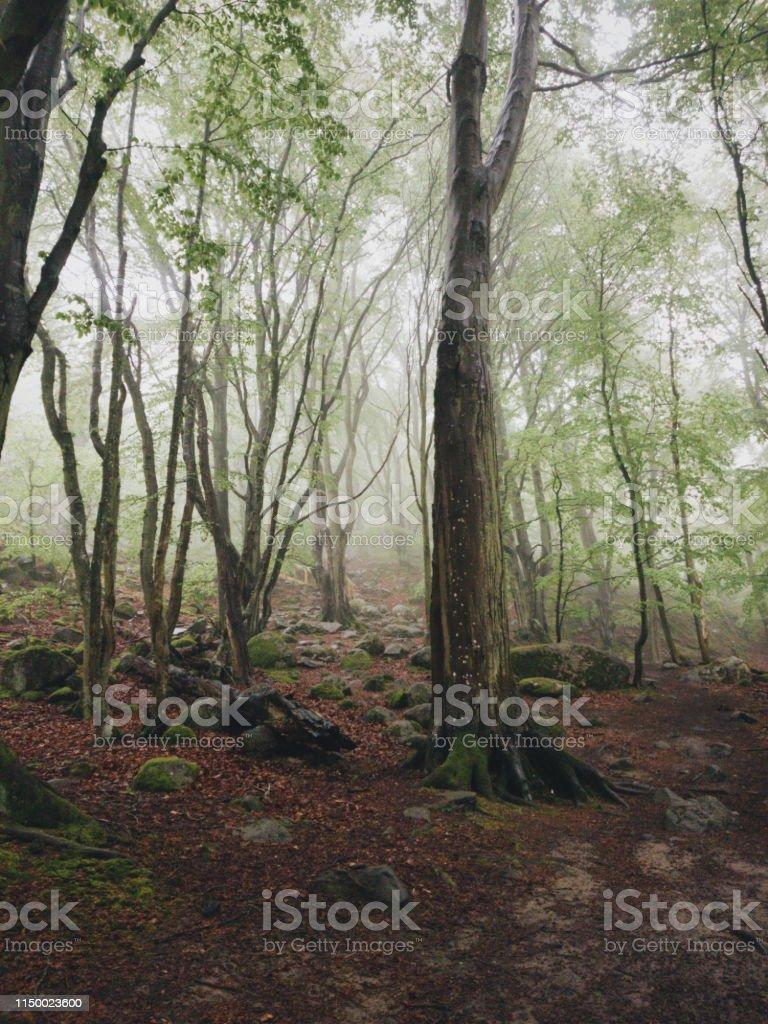 Magisk bok träd skog i nationalparken Stens huvud en dimmig dag med gamla träd - Royaltyfri Bildbakgrund Bildbanksbilder