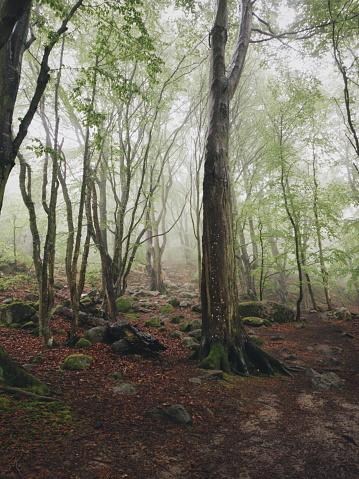 Magisk Bok Träd Skog I Nationalparken Stens Huvud En Dimmig Dag Med Gamla Träd-foton och fler bilder på Bildbakgrund