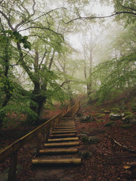Magisk bok träd skog i nationalparken Stens huvud en dimmig dag med gamla träd bildbanksfoto