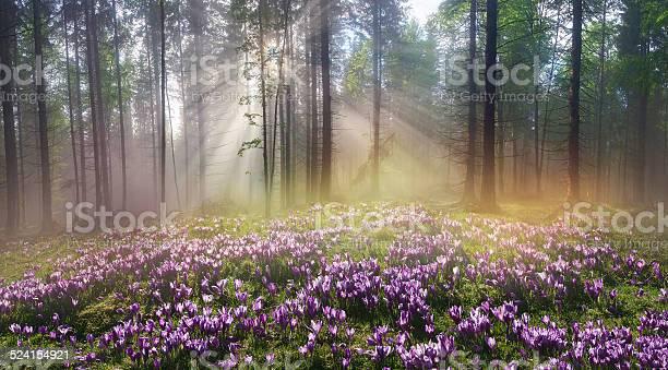 Magic carpathian forest at dawn picture id524154921?b=1&k=6&m=524154921&s=612x612&h=qtbu9ph15drccs3yraay  xvhok5xecjaepfv8decww=