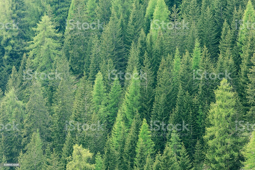 Magic forest lit by the sunlight. Coniferous forest region. stock photo