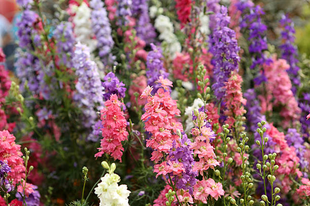 Magic Fountains Mixed / Delphinium Hybridum stock photo