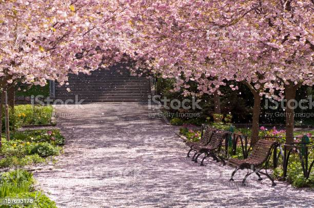Magic light in cherry tree park picture id157693178?b=1&k=6&m=157693178&s=612x612&h=h0 av8j6cxj3 hbmr0xwuo6 y8rar64s xnewjax4um=