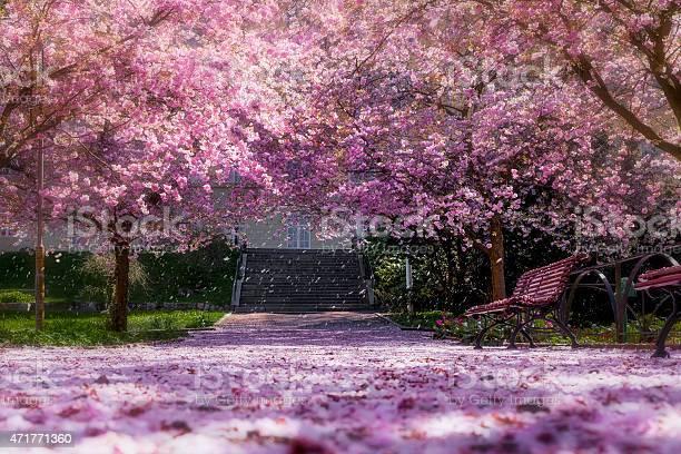 Magic light in cherry tree park picture id471771360?b=1&k=6&m=471771360&s=612x612&h=xgtzf6ibx66zcddcsjxcr r7209rxcbuxgtajb9mzco=