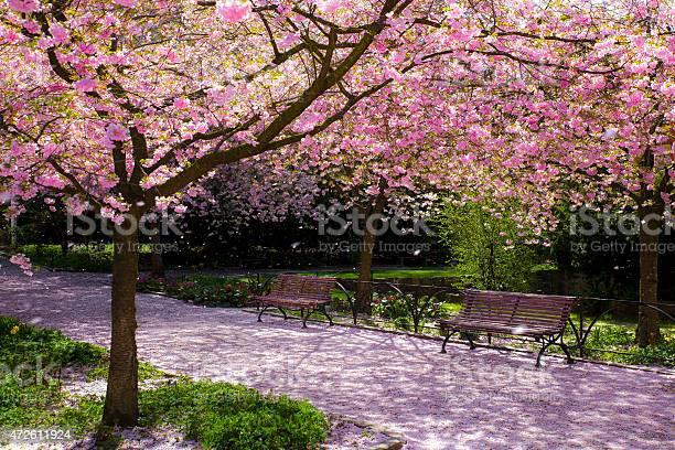 Magic light in cherry tree park picture id472611924?b=1&k=6&m=472611924&s=612x612&h=5jjuz14 j2uaw gaq8pwd ij4dj8itpncamyr5kz740=