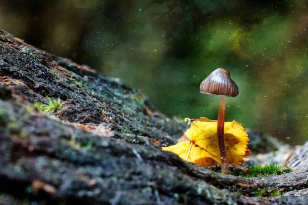Magic Mushrooms known as Shrooms stock photo