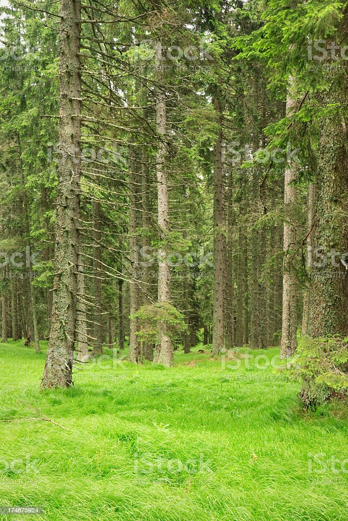 Magic pine forest stock photo