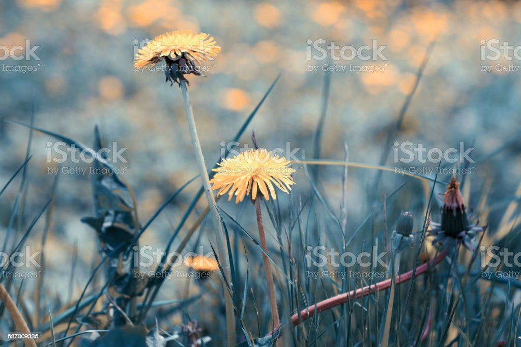 Magic summer meadow with dandelion flowers. Natural background with vintage toned effect. Lizenzfreies stock-foto