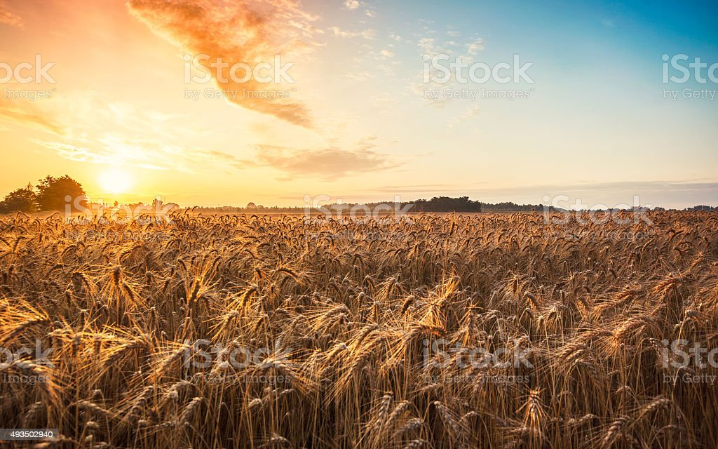 Magic sunrise with wheat field stock photo