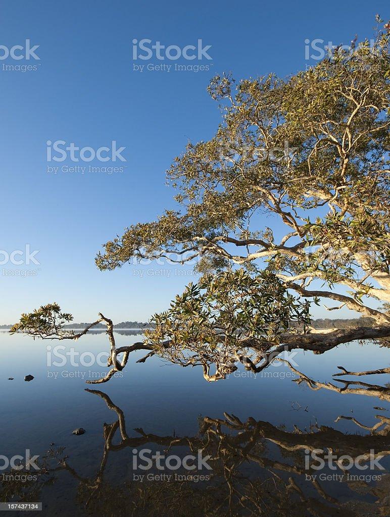 Magic Tree at Lake Weyba Sunshine Coast stock photo