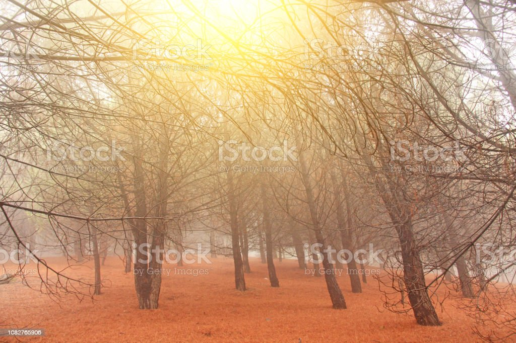 Magical and Fairy Cedar Forest with Thick Fog at the Foot of Mount...