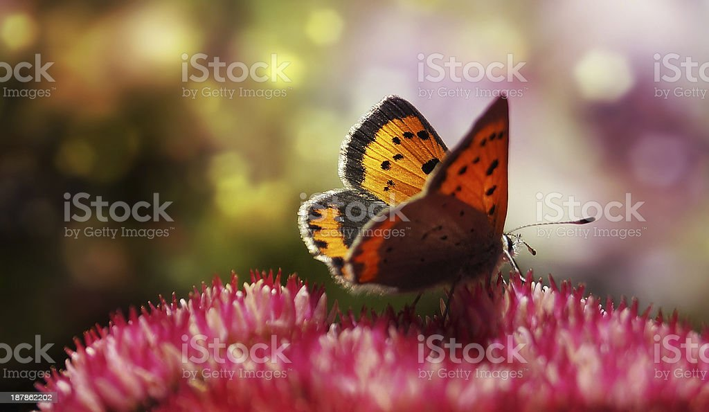 Magical butterfly - Multicolored bokeh royalty-free stock photo