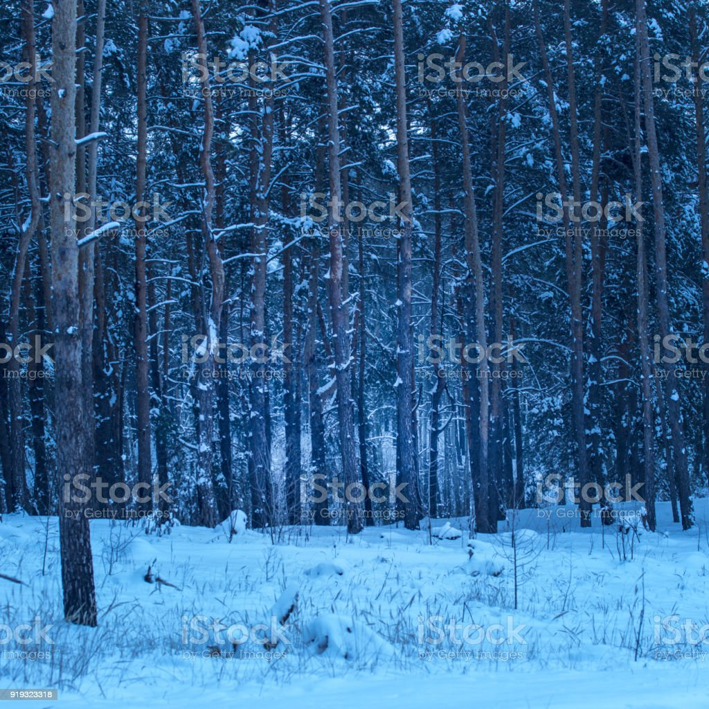 magical coniferous forest with tall pine trees covered the snow stock photo