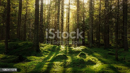 Magical fairytale forest. Coniferous forest covered of green moss. Mystic atmosphere.