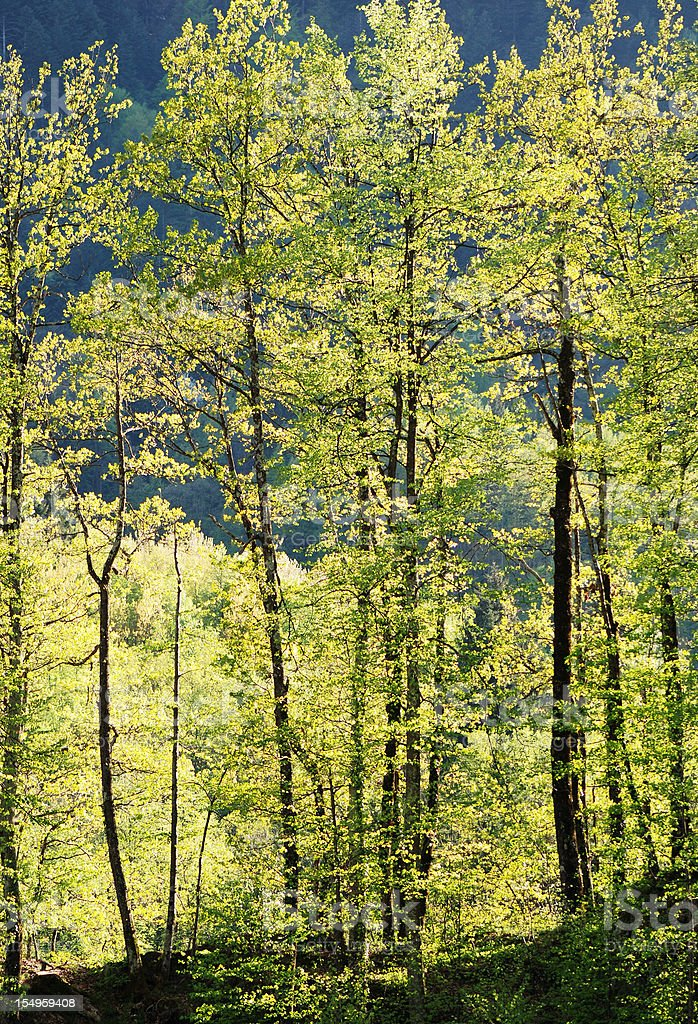 Magical forest in the Alps royalty-free stock photo