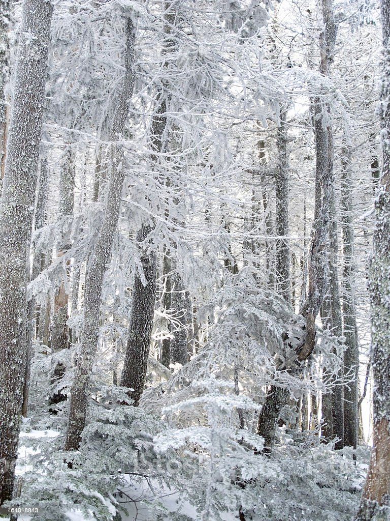 Magical Frosted Forest stock photo