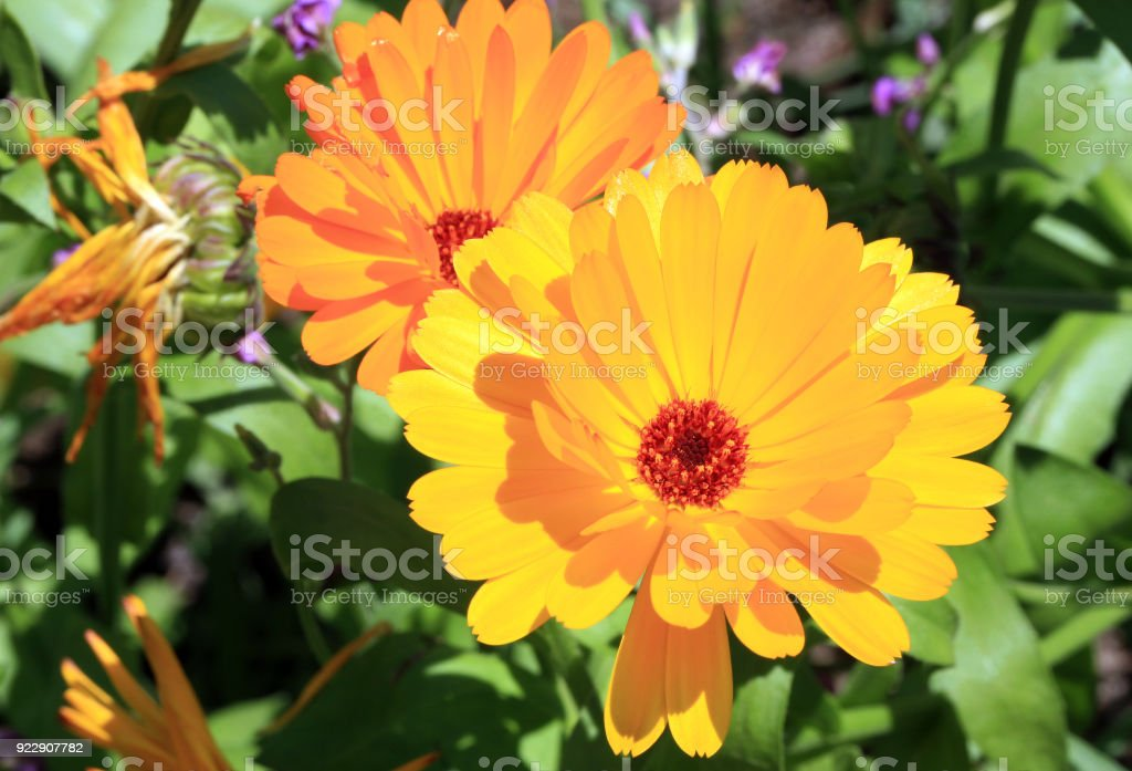 Magical marigold flowers stock photo
