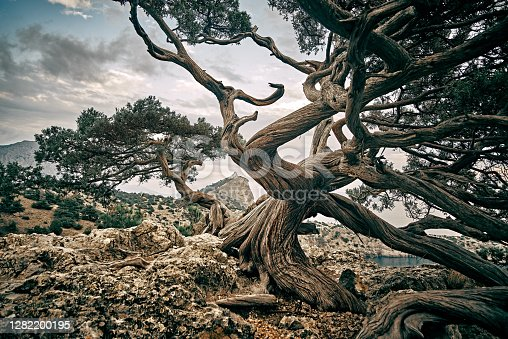 Magical misty old juniper trees growing on rock, mystic atmosphere. Crimea