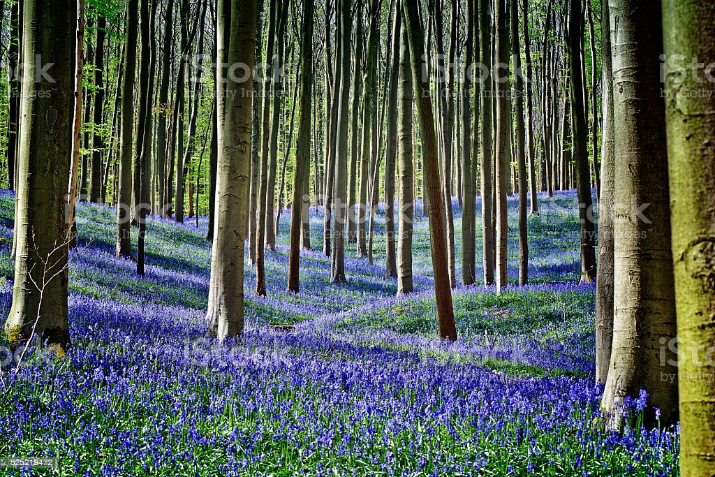 Magical Morning  in forest of Halle with bluebell flowers stock photo