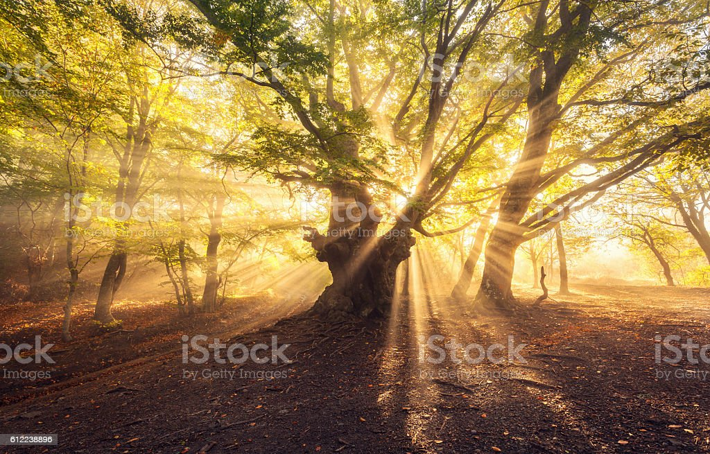 Magical old tree with sun rays at sunrise  Foggy forest stock photo