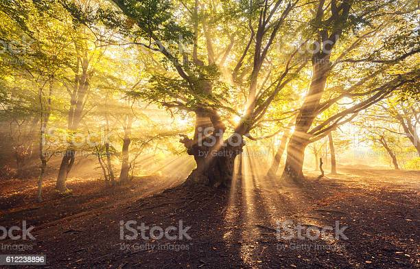 Photo of Magical old tree with sun rays at sunrise  Foggy forest