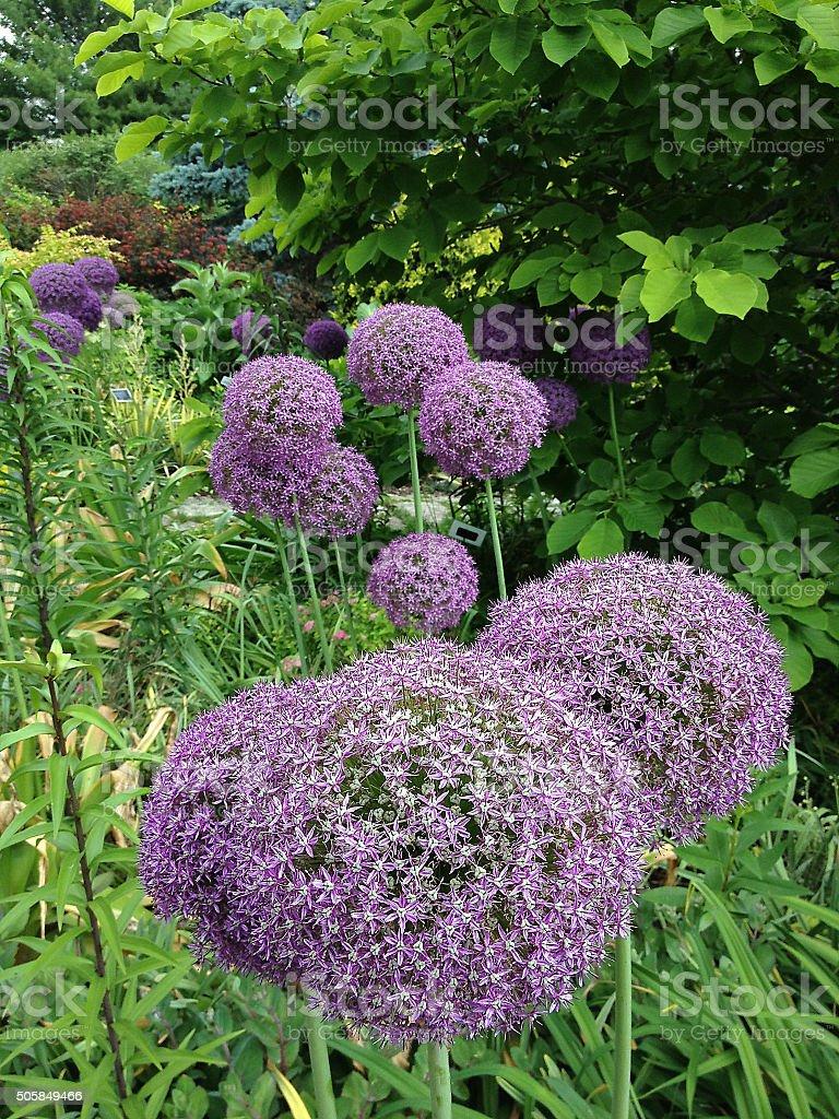Magical 'Purple Allium' stock photo
